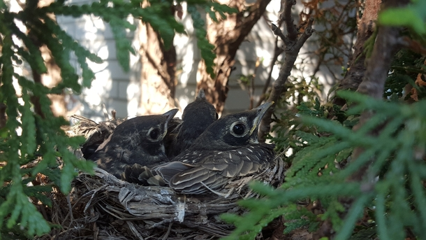 day old robins Turdus migratorius in their nest Captured this shot from a tree in my backyard