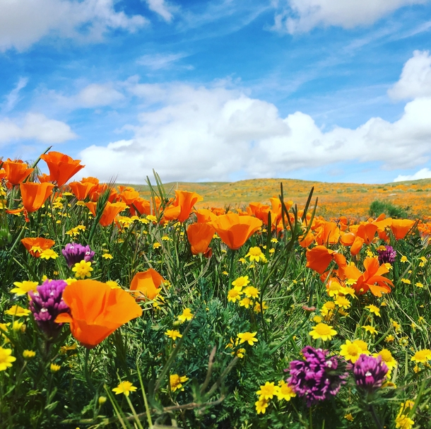 Picture I took at the California Poppy Reserve a few super blooms ago x