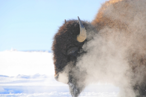 a Bison in yellowstone xpost rfoggypics by usobeefy