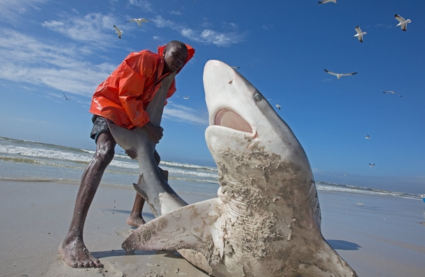 A brave fisherman drags a writhing Bronze Whaler Shark Carcharhinus brachyurus mistakenly caught in a net back to the ocean Cape Town South Africa  - photo by Chris Fallows