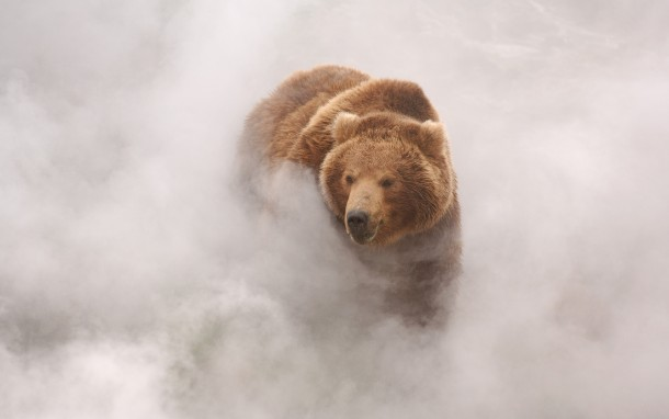 A brown bear enjoys the hot steam from a geyser in Kamchatkas Valley of the Geysers by Igor Shpilenok