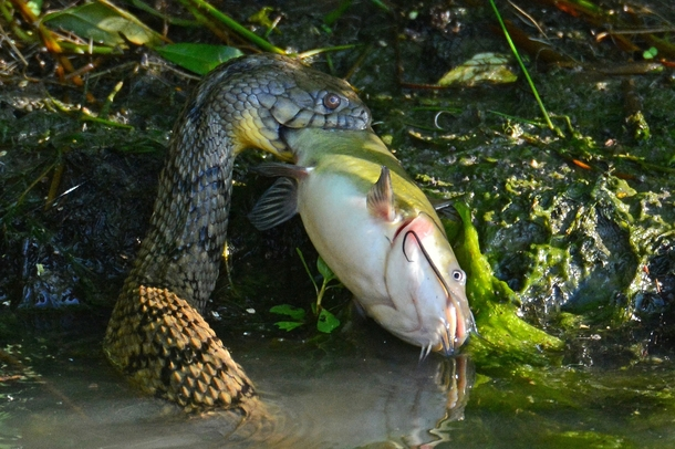 A bullhead catfish caught by a diamondback water snake