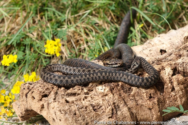 A couple of European adders Vipera berus berus warming up under late spring sun This species is the northernmost snake species occurring even beyond the Arctic polar circle Snakes are efficient predators and pest controllers but are still persecuted becau