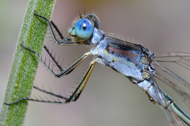 A damselfly The Lestes genus