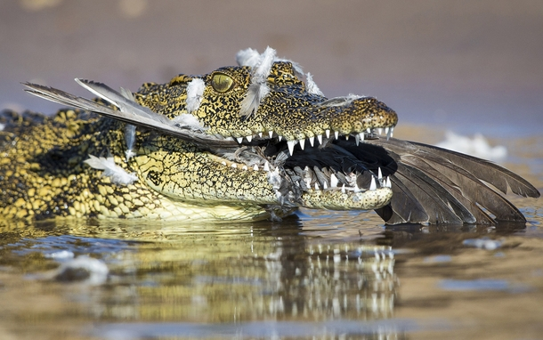 A dove who was flying too low over the Chobe river in Botswana gets eaten by a crocodile