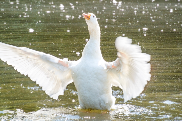 A goose flapping its wings