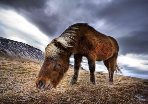 A horse in Iceland - their hair grows extra long in the fast cold winds