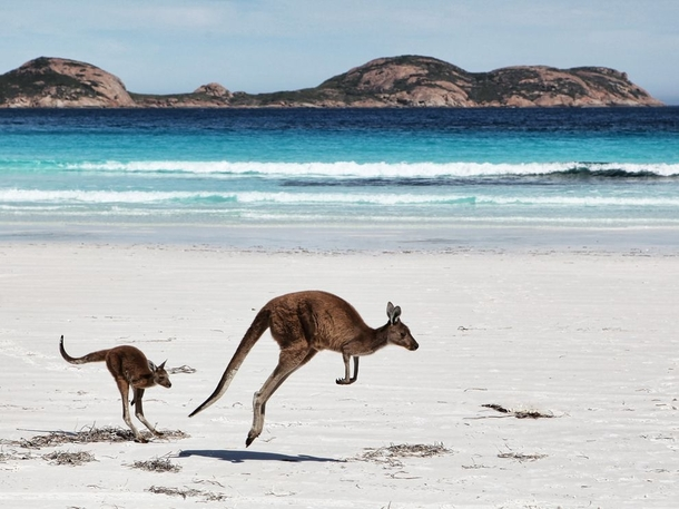 A kangaroo Macropus Rufus and joey in western Australia by Gordon Fellows x
