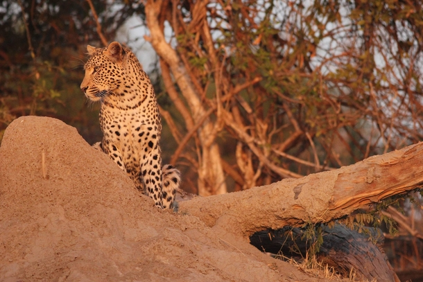A leopard spotted just before sundown in Chobe National Park Botswana