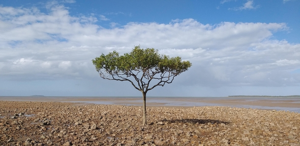 A lone tree Claireview Beach Australia  x