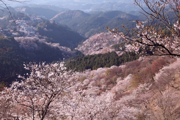 A mountainside covered in cherry blossoms at Yoshino Mountain Japan