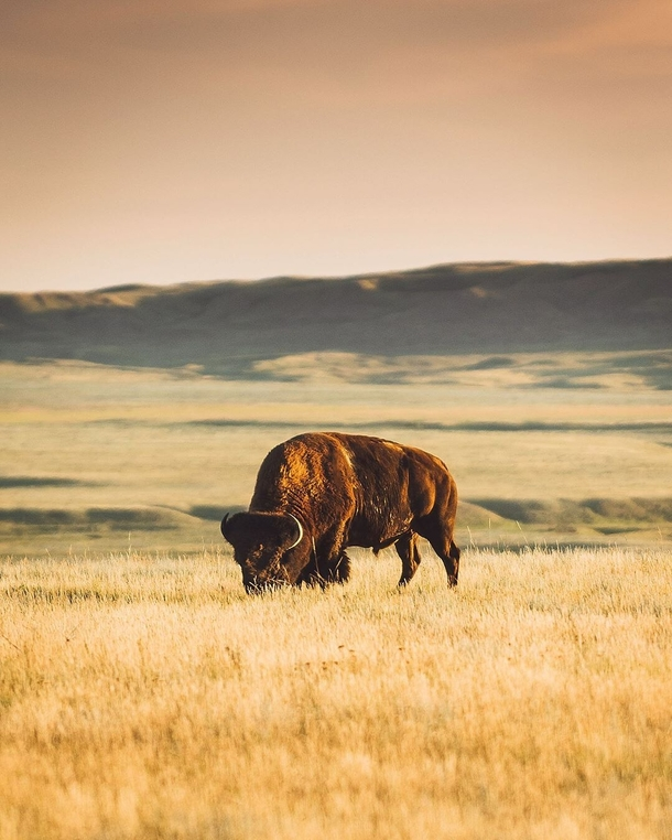 A Plains Bison having dinner in Grasslands National Park Canada