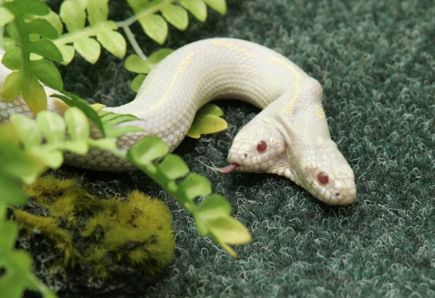 A rare two-headed snake explores its surroundings in a private zoo in the Crimean town of Yalta Ukraine
