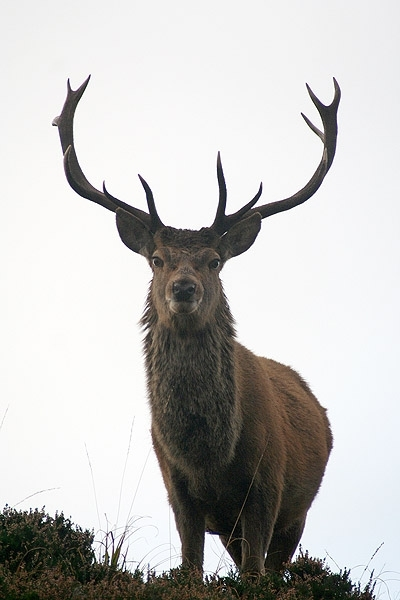 A Red Deer Stag Cervus elaphus near Applecross in Scotland