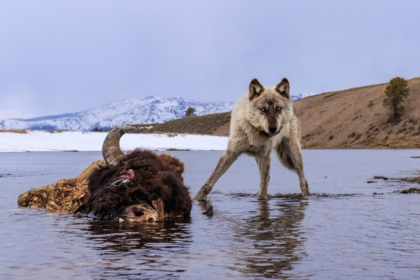 A wolf scavenges on the carcass of a drowned bison in the Yellowstone River Ronan Donovan