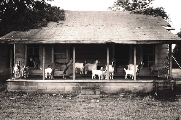 Abandoned by people but not by goats - south of Montgomery Alabama -