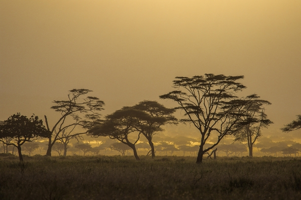 Acacias in the Serengeti at the Golden hour