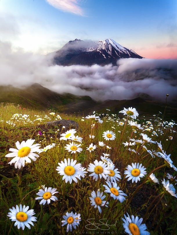 After sleeping in my car for the night the clouds parted right before sunrise allowing me to capture these beautiful daisies at Mount St Helens WA - full story in comments