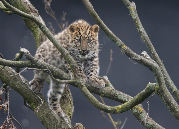 An amur leopard cub atop a tree  Photographed by TONY