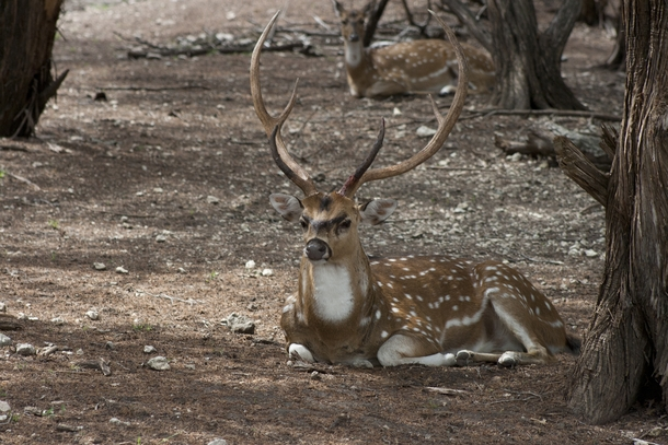 Axis deer stag and doe Axis axis -