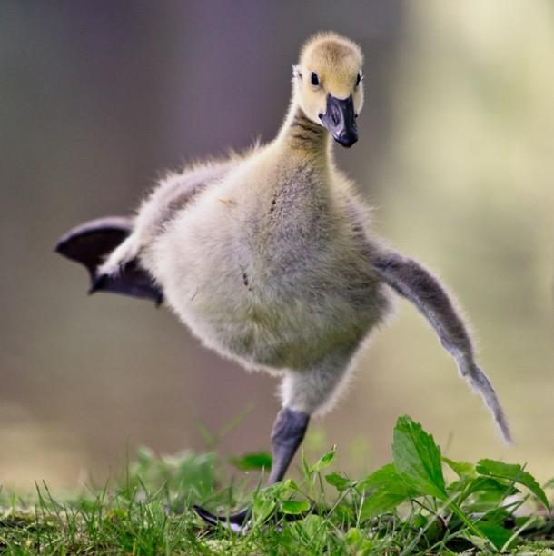 Canada Goose Til Baby