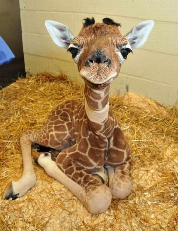 Baby Giraffe Photorator