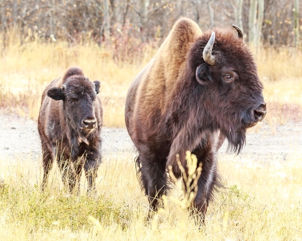 Bison Calf staying close to protective parent up near Yellowknife Canada