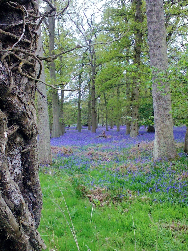 Bluebell Woods in Oxfordshire UK