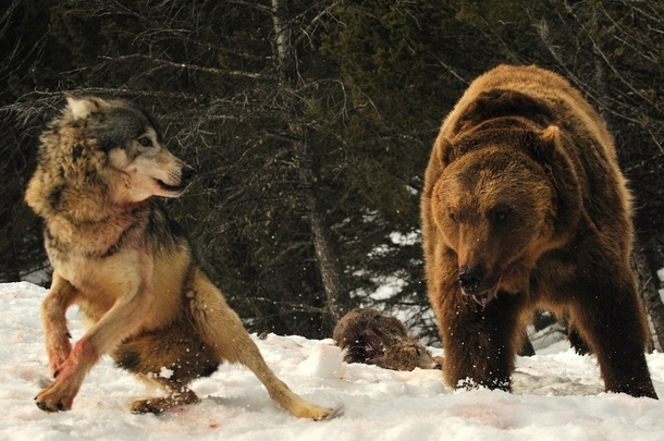 Brawl between a wolf canis lupus and a grizzly bear ursus arctos horribilis