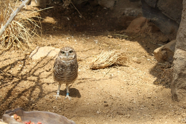 Burrowing owl Athene cunicularia at Omaha Zoo NE
