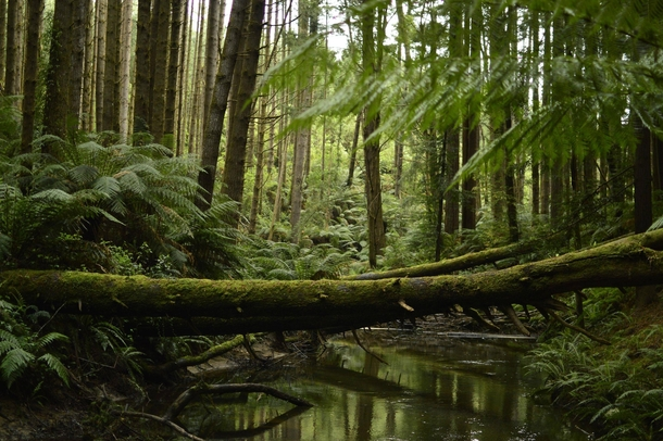 Californian Redwood forest near Melbourne AUS