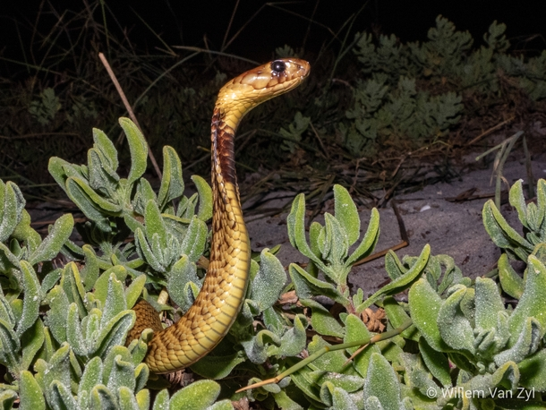 Cape Cobra Naja nivea from the Western Cape South Africa Dangerously venomous