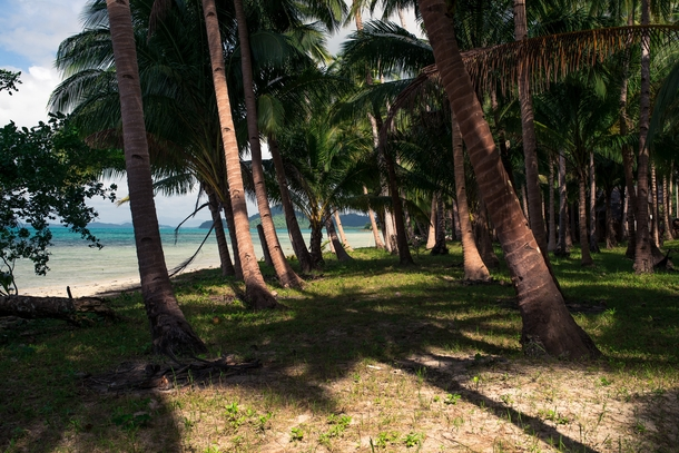 Coconut trees along the Palawan coastline Philippines OC