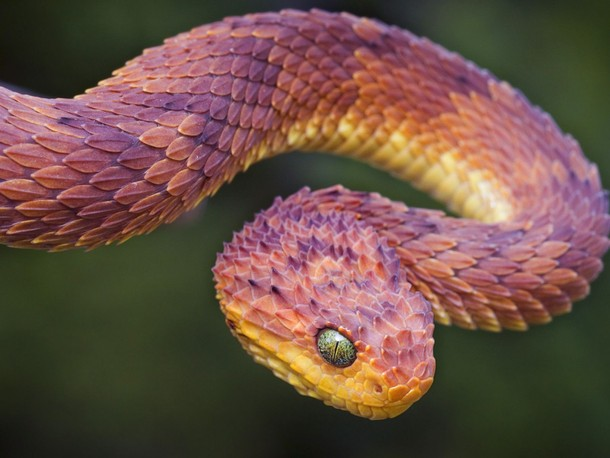 Colorful African Bush Viper