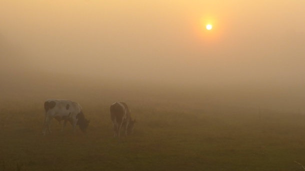 Cows in the fog by Jolanta Kolinko