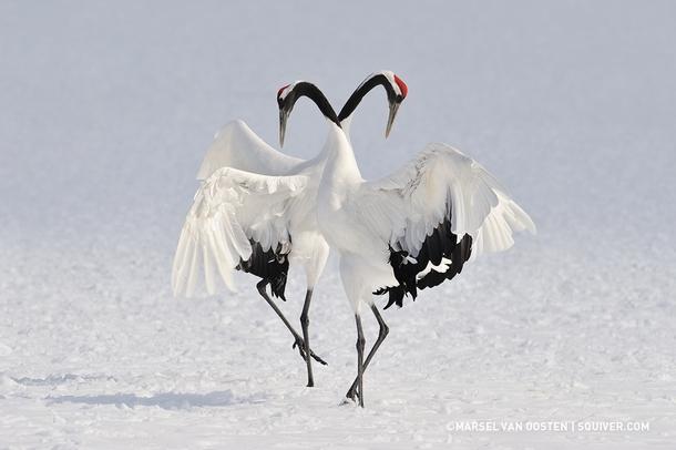 dancing red crowned cranes in japan by marsel van oosten photorator