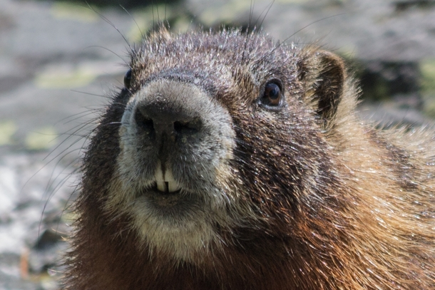 Did someone say nuts Yellow-bellied marmot