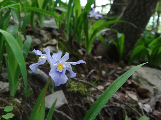 Dwarf Crested Iris Iris cristata Shaddox Hollow trail NWA