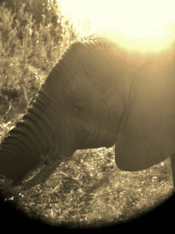 Elephant in South Africa Taken with an iPhone through a pair of binoculars