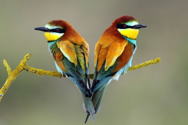 european bee eaters merops apiaster photorator
