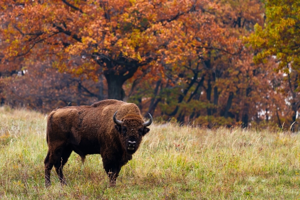European bison in Autumn Poland   MilousSK