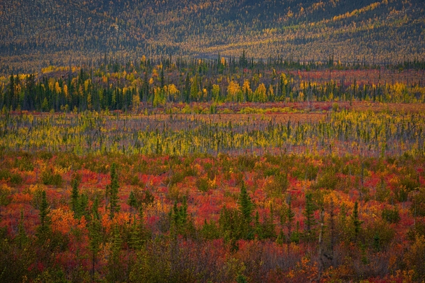 Fall color carpet in the Yukon Canada