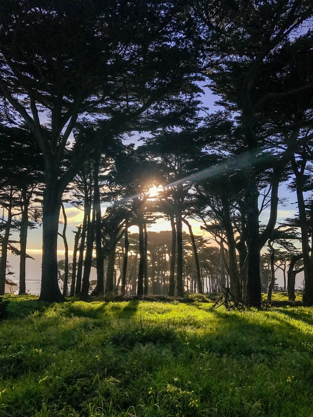 Field of cypress trees and wild flowers at Lands End San Francisco CA