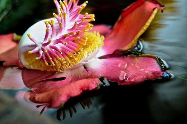 Floating Flower from Cannonball Tree Couroupita guianensis with Bonus Minnow