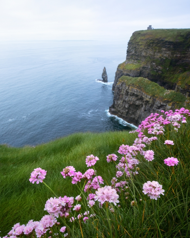 Flowers blooming all over the Cliffs of Moher Ireland