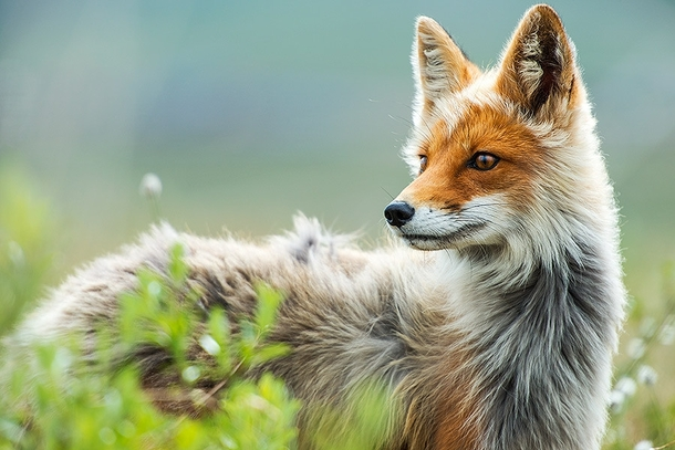 Fox in the arctic circle photo by Russian mining engineer Ivan Kislov