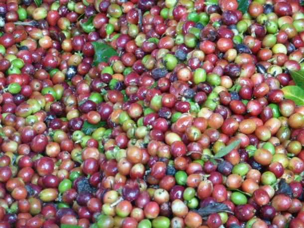 Fresh picked coffee beans
