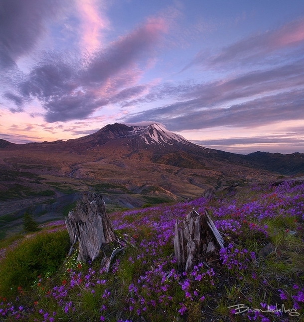 Fresh wildflowers bloom around tree trunks demolished by the eruption of Mt Saint Helens  years ago Photo by Brian Adelberg