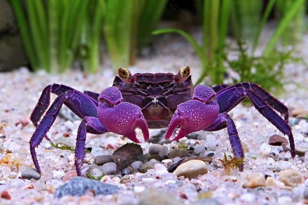 Geosesarma dennerle a newfound species of vampire crab native to Java photo by Chris Lukhapu