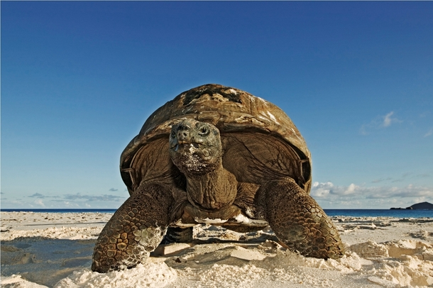 Giant Tortoise from Seychelles Islands Africa Cousine Island